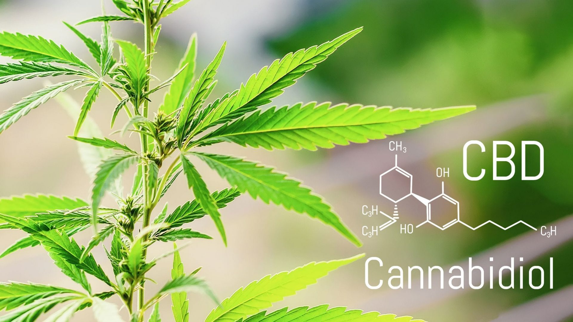 Prescribed CBD could help people quit cannabis - drugscience.org.uk